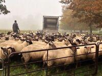 Assistant Shepherd/Farm worker