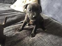 Two female Staffordshire Bull Terrier pups