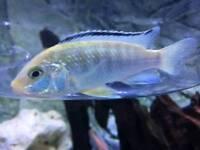 Malawi cichlid for sale, mbunas, yellow lab, masoni reef