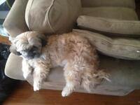 Lhasa Apso x Shih Tzu Looking For Her Forever Home