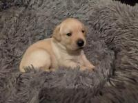 Beautiful lab puppies 1 girl left