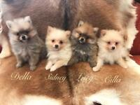 Dinky Pom puppies chocolate cream and sable