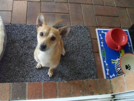 JACK RUSSELL X FOXI 1 yr 11 months old - CALLS ONLY DO NOT SMS