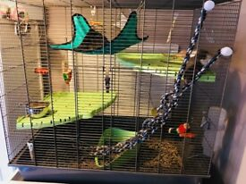 2 Male rats 4 months old and large cage complete set up