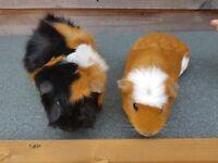 Two female guinea pigs + hutch