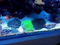 Ultra florescent star polyp
