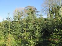 10-12 foot Christmas Trees for sale