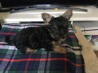 10 week old puppy jack cross Yorkie boy