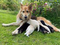 KC Registered German Shepard Puppies
