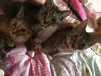 3 cross breed kittens