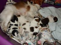 Papillon puppies x 3