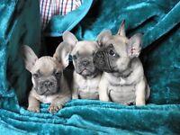 Beautiful French bulldog puupies