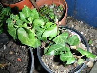 English ivy plant in a small 10 cm pot