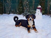 Double Champion Entlebucher Well Trained Dog