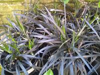 Black Mondo Grass - Ophiopogon planiscapus - Black Dragon Plant (13cm pot)