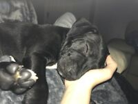 Staffordshire bull terrier 11 weeks old