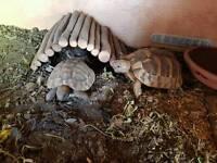 2 tortoises with set up