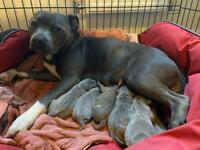 KC registered Staffordshire bull terrier puppies