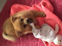 Pomeranian x jack russel puppys