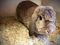 Full Bred German Lop Rabbits