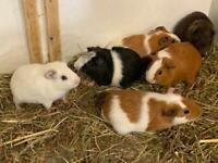 Guinea pigs sheltie crested texel Teddy abyssinian Swiss straight hair sows / boar