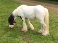 4 year old stallion