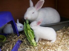 Pure White Rabbits..(New Zealand Type) Mixed litter..both parents can be seen ...Ready now.£20each.