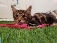 Siberian Kittens only 2 Left