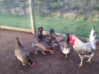 2x Cream Legbar laying chickens