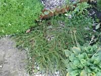 Beautiful horizontally growing Conifer