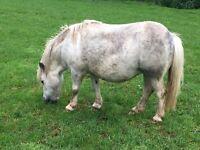 Pretty and sweet mini Shetland mare