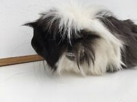 Guinea pig and hutch for sale