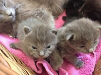 Russian blue kittens for sale!