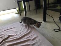 Bengal markings kittens