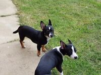 2 male chihuahua puppies 8 month old (price change) £295 no offers