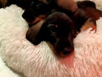KC Reg Top Quality Standard Wire Haired Dachshund Puppies for sale