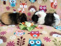 **Guinea Pigs** Beautiful pair of adult female guinea pigs!!