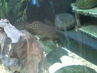 Featherfin catfish and other fish for sale