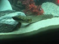Ornamental bachir (tropical fish)