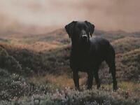 Framed Steven Townsend Signed Print of Kate the Black Labrador. for sale  Billingham, County Durham