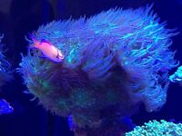 Marine Lps coral for sale