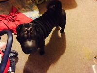 Female shar pay for sale. Black coloured female shar pei lovely calm friendly girl