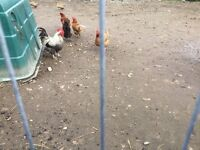 Chickens and cockerel