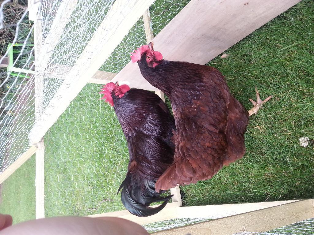 Rhode Island Red Hens For Sale Uk