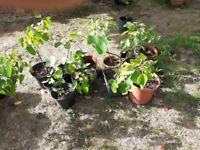 Fig tree plants