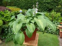 "MATURE POTTED HOSTA PLANT ""DANCE WITH ME"""