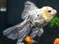 Various fancy goldfish