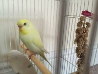 Beautiful Yellow Female Budgie 6 months