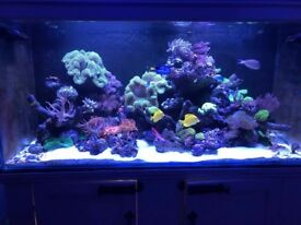 Marine corals, 2 massive leather, anemone and 1 tomato clownfish