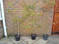 Acer Palmatum Japanese Maple Trees (green leaves) for patio pot or garden